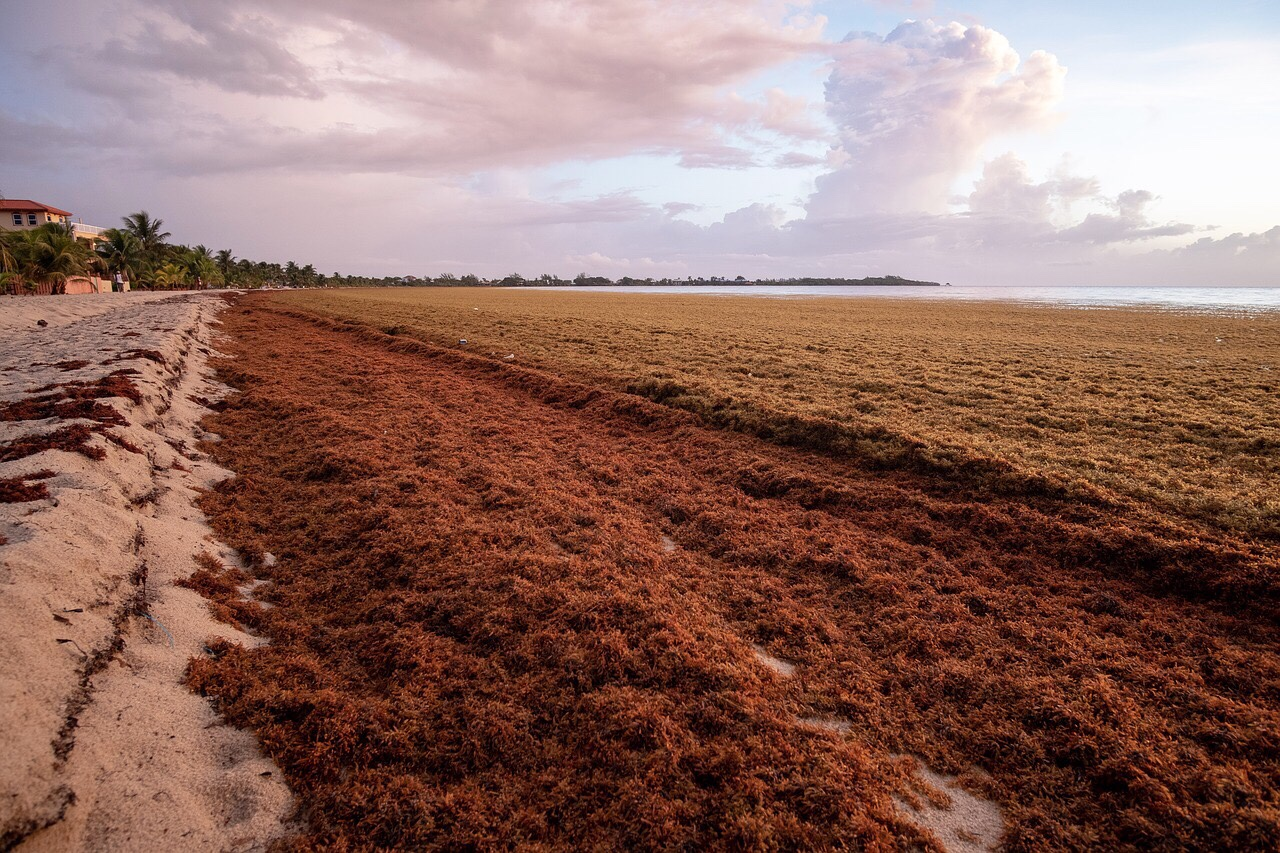 Sargassum: The traveling algae that stops in Cancun | H2O ...